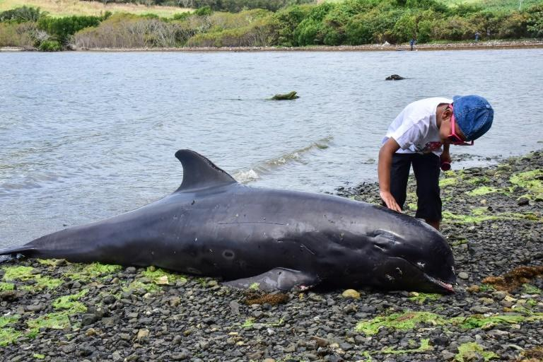 About 50 melon-headed whales washed up dead off Mauritius at the end of August, infuriating the public