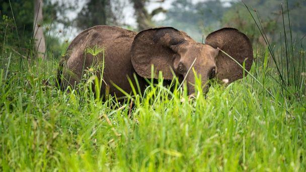 PHOTO: An African forest elephant is seen in this stock photo. (STOCK PHOTO/Getty Images)
