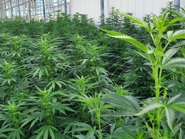Some of Iowa's first hemp crop was grown inside on  about 2,100 square feet. Altogether, the crop was planted on an estimated 680 acres. Farmers were limited to growing the crop on 40 acres.