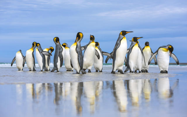 <p>King penguins marching along the sand in the Falkland Islands. (Photo: Wim van den Heever/Caters News) </p>