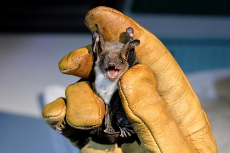 A colony of Greater Mouse-eared bats in western France undergoes an annual check-up to help understand and safeguard the protected species