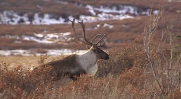 The illegal harvest of more than 50 caribou in the territory was already being investigated. (CBC - image credit)