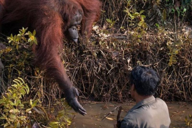 Photo of Orangutan Offering Help to Man Wading in Snake-Infested Water is Winning Hearts