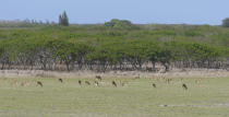 This image provided by Honolulu Civil Beat shows axis deer grazing in a field near Hoolehua, Hawaii on the island of Molokai, Jan. 15, 2021. Axis deer, a species native to India that were presented as a gift from Hong Kong to the king of Hawaii in 1868, have fed hunters and their families on the rural island of Molokai for generations. But for the community of about 7,500 people where self-sustainability is a way of life, the invasive deer are a cherished food source but also a danger to the island ecosystem. Now, the proliferation of the non-native deer and drought on Molokai have brought the problem into focus. Hundreds of deer have died from starvation, stretching thin the island's limited resources. (Cory Lum/Honolulu Civil Beat via AP)