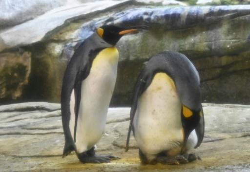Skipper, right, and his male partner Ping, left, have begun taking care of a real egg at their enclosure in Berlin Zoo