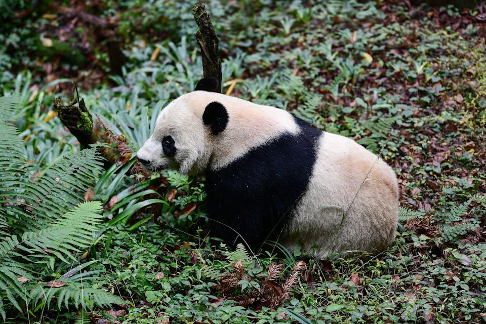 Giant panda Bei Bei at the Bifengxia base of the China Conservation and Research Centre in Yaan (AFP via Getty Images)