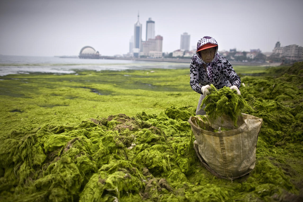 An elderly volunteer helps to clear algae from the coastline of Qingdao, Shandong province July 4, 2008. REUTERS/Nir Elias