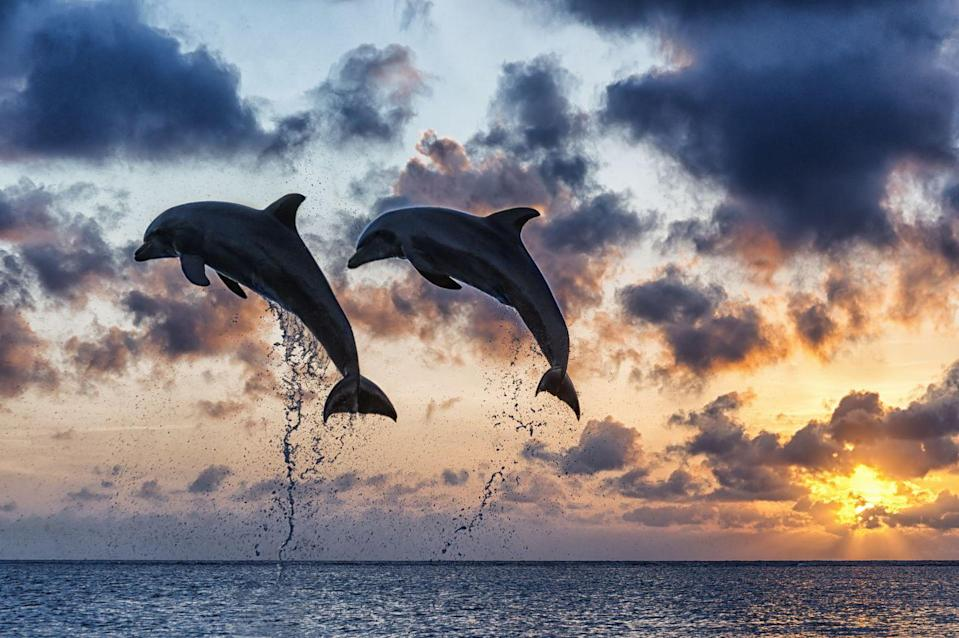 """<p>The bottlenosed dolphin can jump <a href=""""https://sciencing.com/how-high-can-dolphins-jump-4597530.html"""" rel=""""nofollow noopener"""" target=""""_blank"""" data-ylk=""""slk:15-30 feet"""" class=""""link rapid-noclick-resp"""">15-30 feet</a> above the surface of the water. As seen here, a pair of bottlenosed dolphins catch some air during sunset in the Caribbean sea. </p>"""