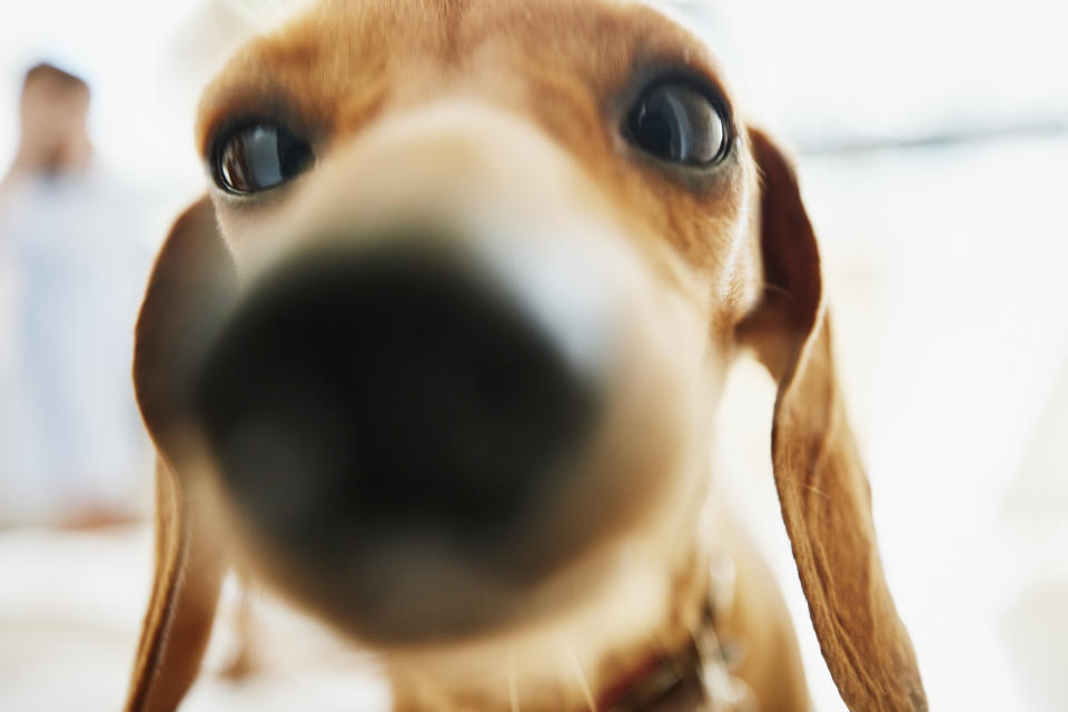 Close up portrait of dachshund