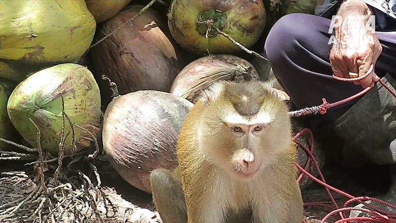 PETA has been pushing stores to stop selling coconut milk where the coconuts are believed to have been picked by monkeys.