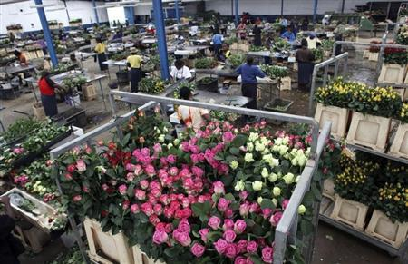 Workers prepare roses for export to the European market at the Maridadi Flowers warehouse in Naivasha