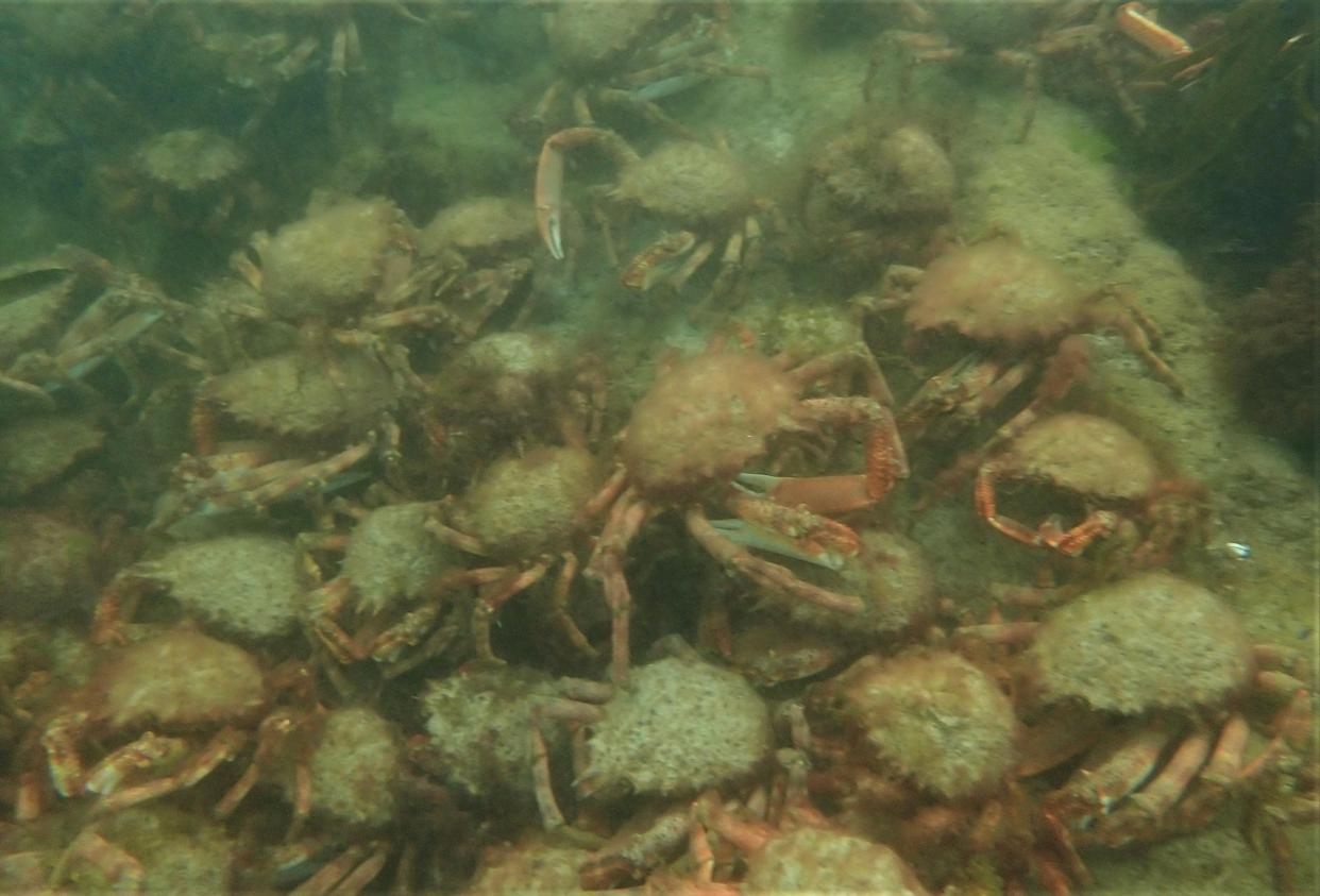 This undersea spectacle, which takes place annually between late summer and early autumn, involves crabs rallying together to protect themselves from the threat of predators (Matt Slater/Cornwall Wildlife Trust/PA).