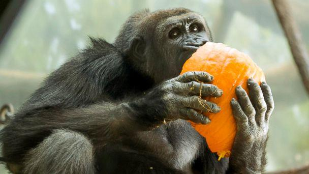 PHOTO: A western lowland gorilla bit into a pumpkin at the Lincoln Park Zoo in Chicago. (Todd Rosenberg Photography)