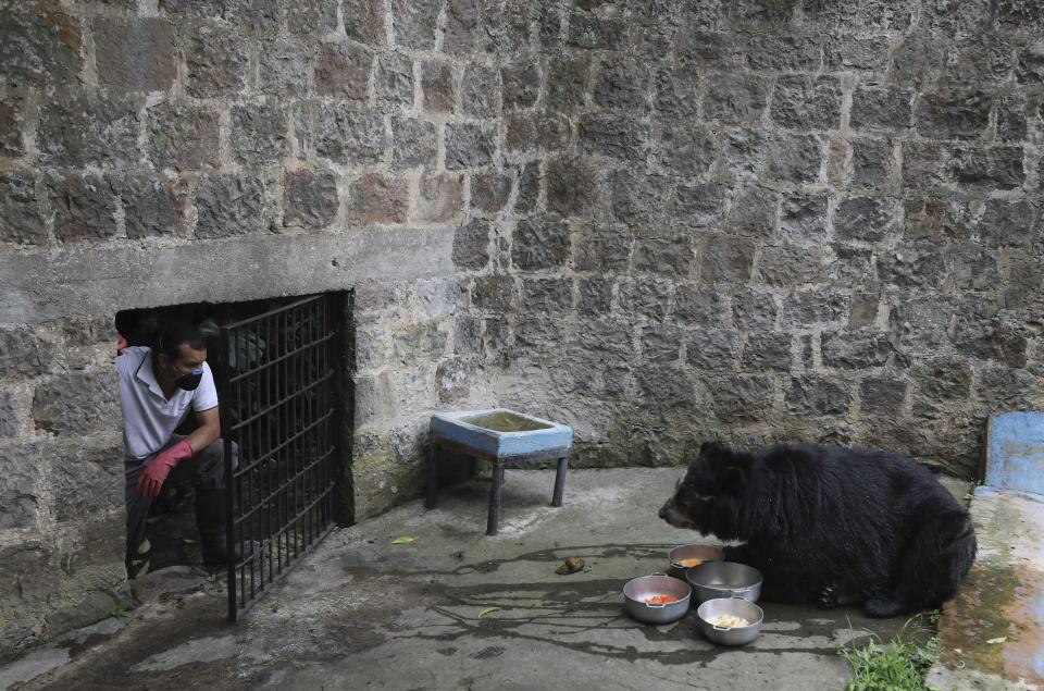 Zookeeper Edilberto Quevedo watches a spectacled bear after placing food at the Santacruz Zoo which is closed amid a lockdown to help contain the spread of the new coronavirus in San Antonio, near Bogota, Colombia, Tuesday, April 21, 2020. The zoo depends on daily ticket sales to feed the animals, and with no money coming in except for a contribution from local government that only covers one week of upkeep, zookeepers are scrambling the find donations of money and food to keep the animals healthy. (AP Photo/Fernando Vergara)