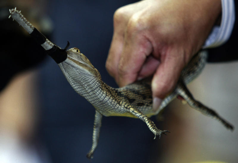In this photo taken June 2, 2011, a Thai custom officer shows an Indian gharial, a type of crocodile native of India, with its mouth tied at a news conference on wildlife seized in Bangkok, Thailand. Officials at Thailand's gateway airport proudly tick off the illegally trafficked wildlife they have seized over the past two years. But Thai and foreign law enforcement officers tell another story: officials working-hand-in-hand with the traffickers ensure that other shipments through Suvarnabhumi International Airport are whisked off before they even reach customs inspection. (AP Photo/Apichart Weerawong)