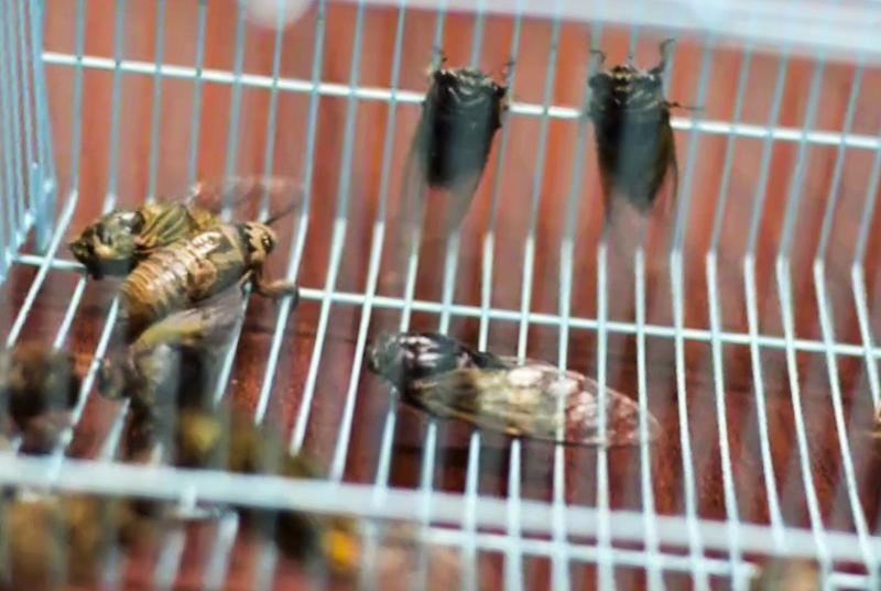 Chinese citizens urged to 'eat a bug and save a tree' as summer cicada glut threatens greenery