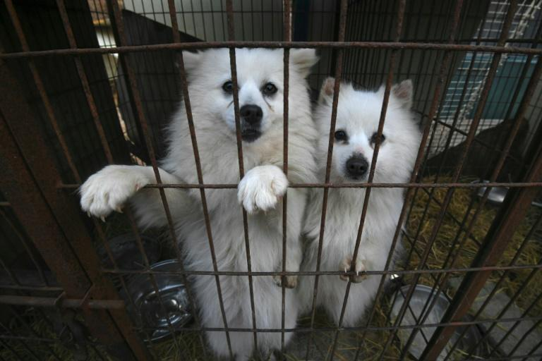 The animal protection group Humane Society International saved about 200 dogs at a dog farm in Hongseong, 150 kilometres south of Seoul