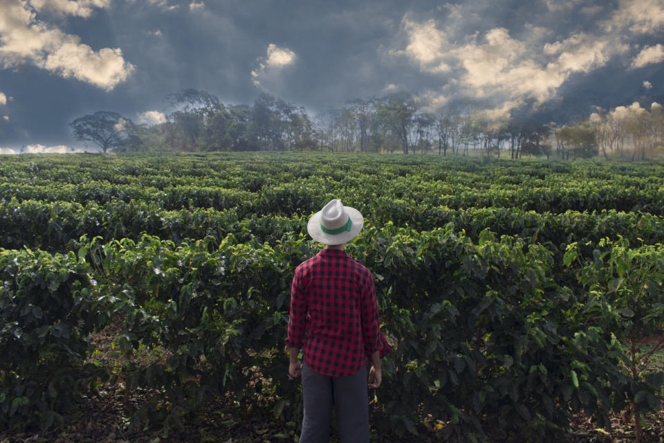 Farmer with hat looking the coffee plantation field