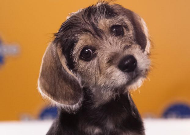 "Trinka, a 10-week-old schnauzer/beagle, ""loves sleeping in hotel room beds."" (Photo by Keith Barraclough/DCL)"