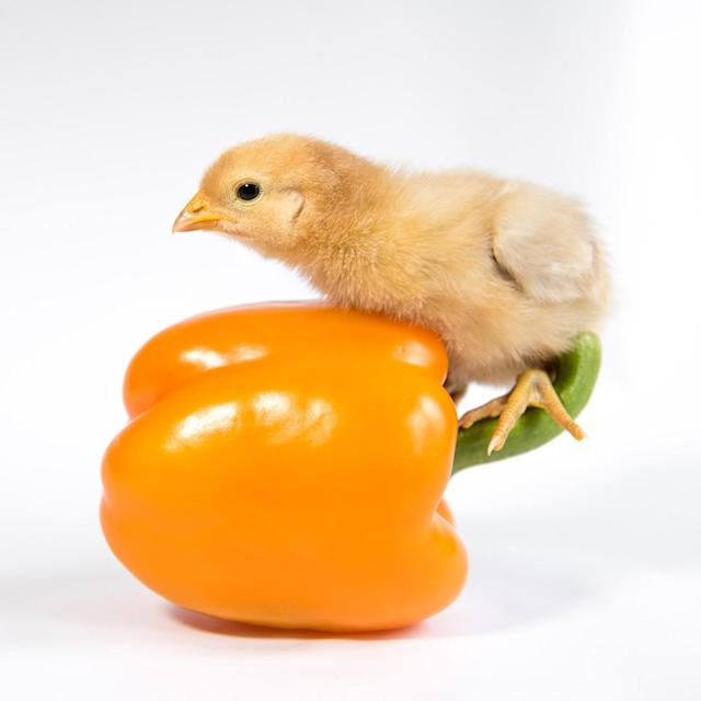 <p>A chick rides the stem of a yellow pepper. (Photos: Alexandra C. Daley-Clark/sillychickens.com) </p>