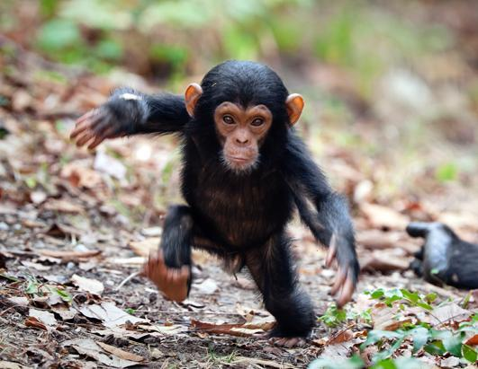 In this photo a baby chimp is seen taking its first steps away from its mother. Photographer Konrad Wothe captured the chimp's first brave steps towards his camera in Mahale Mountains National Park, Tanzania, Africa
