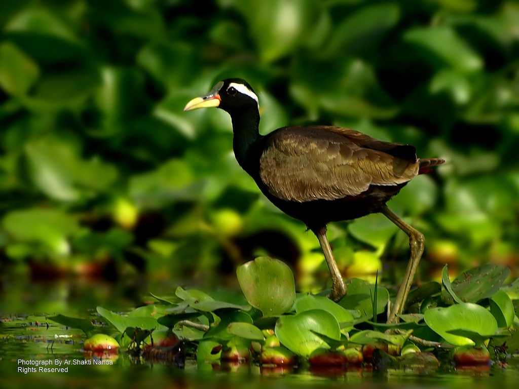<strong>Bronze-winged Jacana</strong> (<em>Metopidius indicus</em>) is a resident bird at Mangalajodi wetland, 70 km from Bhubaneswar, Odisha.