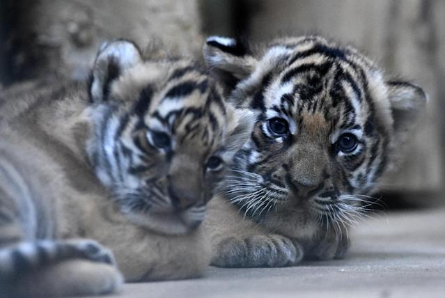 Two six-weeks-old Malayan tiger cubs were born on October 3, 2017 at the Prague zoo (AFP Photo/Michal Cizek)