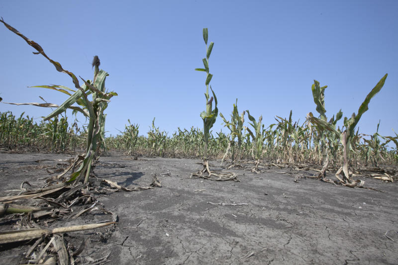 Drought-stunted corn, grown for seed, is seen in a field near Nickerson, Neb., Thursday, Aug. 16, 2012. Dry conditions have worsened in the key farming states of Kansas and Nebraska as the worst U.S. drought in decades continues, the latest national report said Thursday. (AP Photo/Nati Harnik)