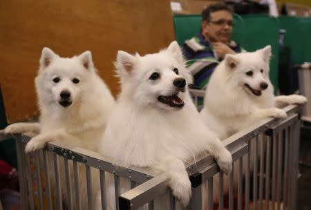 Japanese Spitz look out from their pen during the last day of the Crufts Dog Show in Birmingham, central England in this March 8, 2015 file photo. REUTERS/Darren Staples /Files