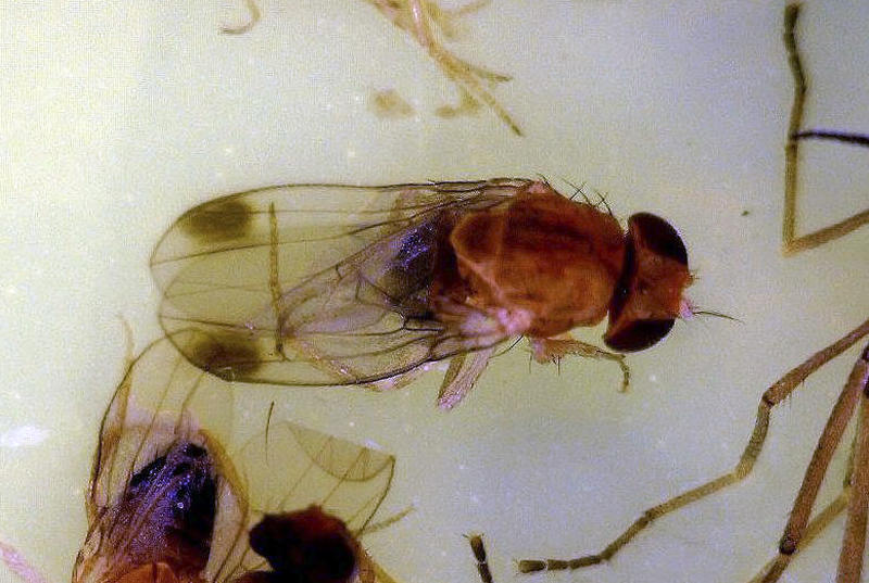 This photo provided by the University of Maine Cooperative Extension shows a spotted wing drosophila. Maine's wild blueberry growers are monitoring their fields for a harmful new fruit fly that arrived in the U.S. five years ago and poses a threat to the state's crop. With the blueberry harvest set to kick into gear later this week, growers have been watching out for the tiny spotted wing drosophila. (AP Photo/University of Maine Cooperative Extension)