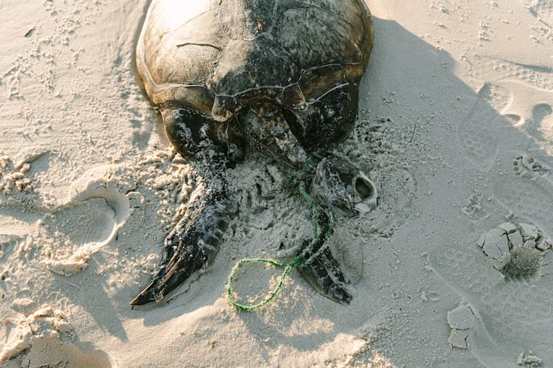 A dead sea turtle with a nylon cord around its neck.
