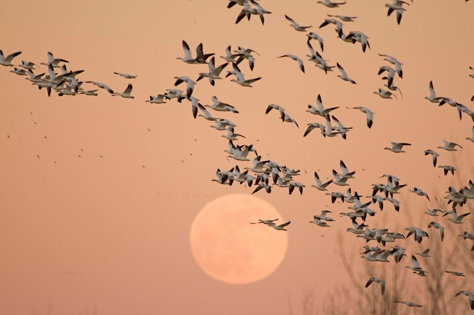 Snow geese wintering in Bosque del Apache National Wildlife Refuge in Rio Grande, New Mexico. (Photo: Barcroft via Getty Images)