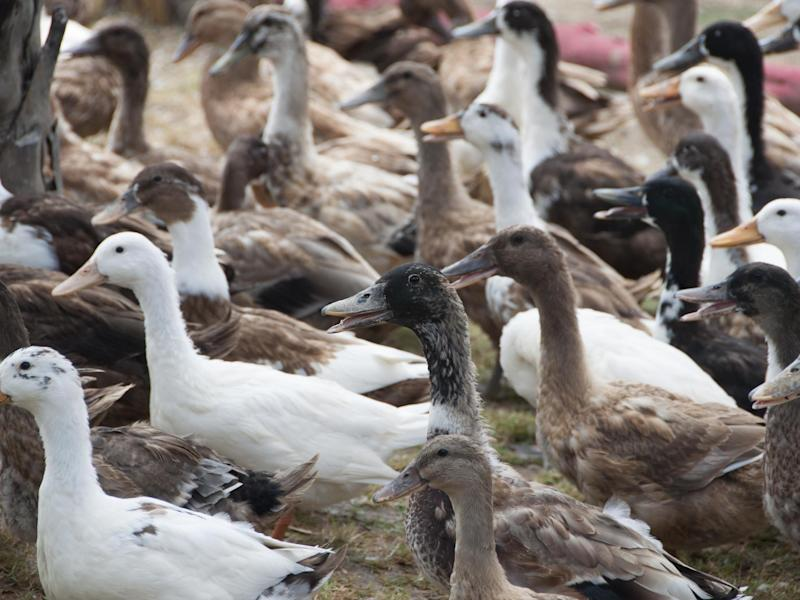 A 100,000-strong army of ducks will be sent to help Pakistan manage a huge locust outbreak: Getty Images/iStockphoto
