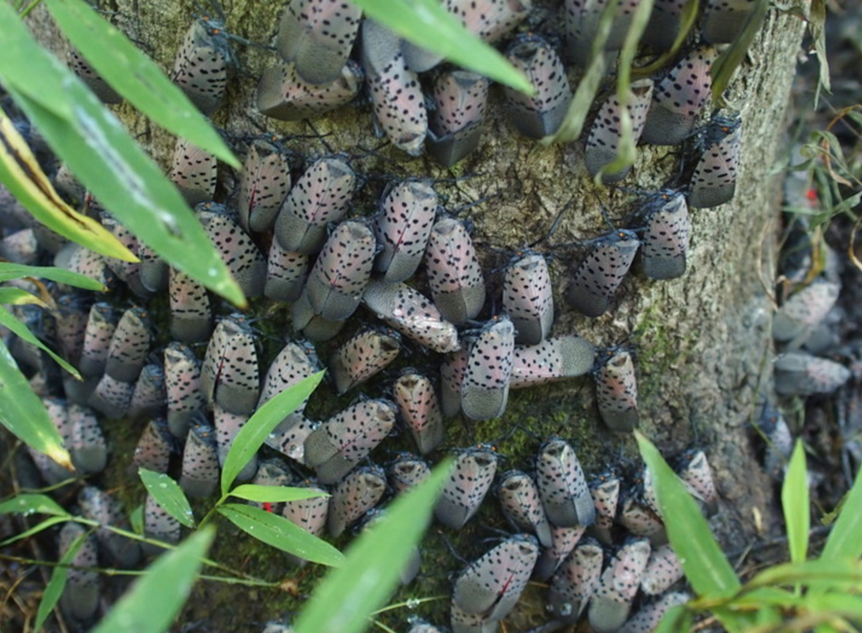 """<span class=""""caption"""">In seven years, the lanternfly has spread from Berks County, northwest of Philadelphia, to large areas of Pennsylvania and New Jersey, and both south and north.</span> <span class=""""attribution""""><a class=""""link rapid-noclick-resp"""" href=""""https://news.psu.edu/photo/535597/2018/09/10/spotted-lanternfly-tree"""" rel=""""nofollow noopener"""" target=""""_blank"""" data-ylk=""""slk:Penn State/E. Swackhamer"""">Penn State/E. Swackhamer</a></span>"""