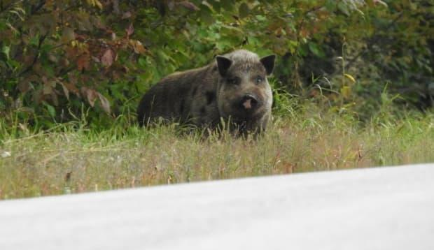 A wild pig spotted at the side of the road near Alderville First Nation, north of Cobourg, Ont.