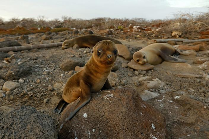 With few tourists visiting the Galapagos, a baby sea lion has his first encounter with a human on North Seymour Island.