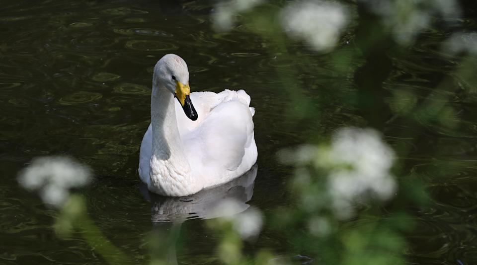 (stock image of swan) (PA Wire)