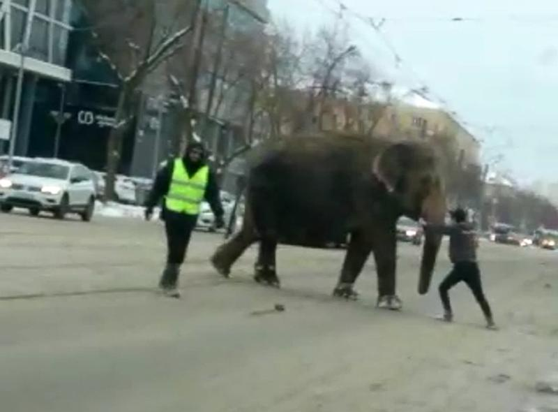 Elephants Escape Circus and Take to the Streets of Russian City to Play in Snow