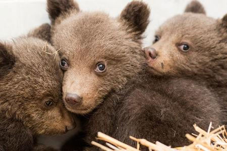 A picture shows three bear cubs who were found by the Bulgarian authorities in the wild and rescued at the Dancing Bears Park near Belitsa, Bulgaria, April 22, 2018. The cubs, who are about 3 months old, will be relocated in the next days to a bear orphan station in Greece. Picture taken April 22, 2018. Hristo Vladev/FOUR PAWS handout via REUTERS