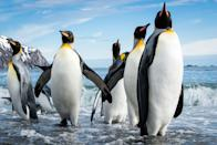 """Group of king penguins walking out of the water in Fortuna Bay, South Georgia. (Photo and caption Courtesy Cedric Favero / National Geographic Your Shot) <br> <br> <a href=""""http://ngm.nationalgeographic.com/your-shot/weekly-wrapper"""" rel=""""nofollow noopener"""" target=""""_blank"""" data-ylk=""""slk:Click here"""" class=""""link rapid-noclick-resp"""">Click here</a> for more photos from National Geographic Your Shot."""
