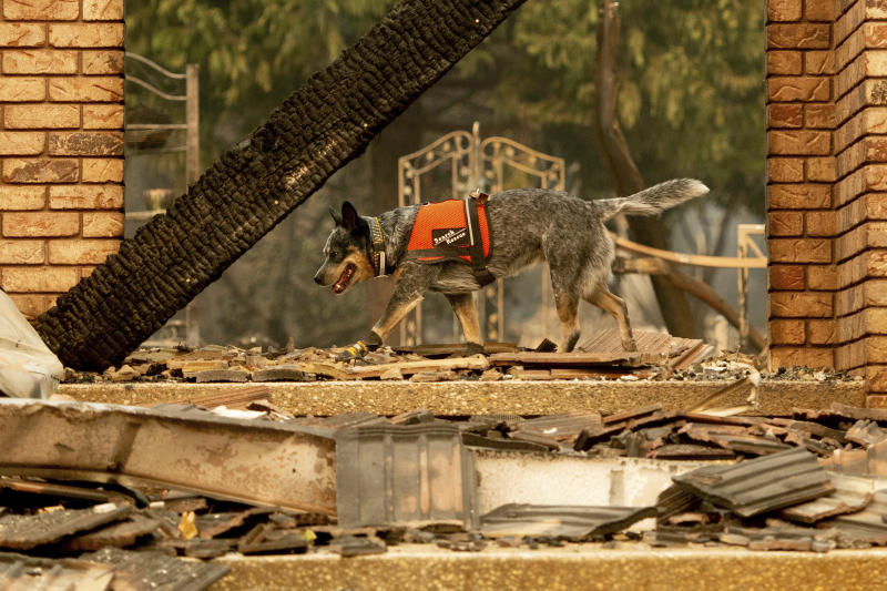 A dog searches for victims of the Camp fire in Paradise, California, on Nov. 15, 2018.  (AP Photo/Noah Berger)