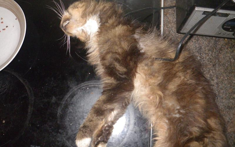 Cat which died after being left for two weeks while it's owners were away. - Credit: SWNS