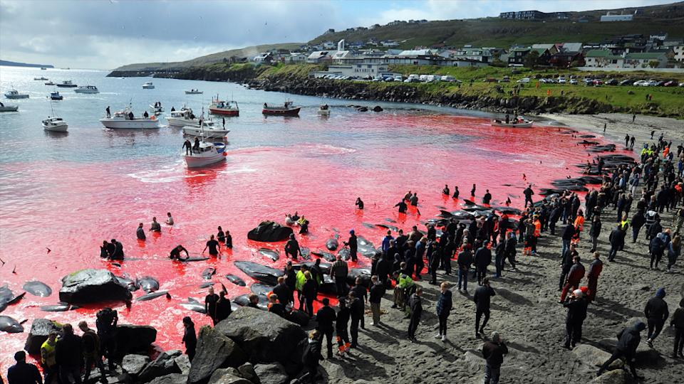 Pilot whales butchered for their meat in the Faroe Islands traditional whale hunt turn the water a deep shade of red.