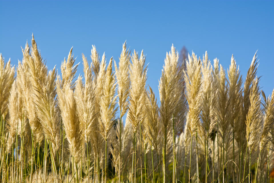 Pampus Grass (Cortaderia selloana) against blue sky in West Sussex, England