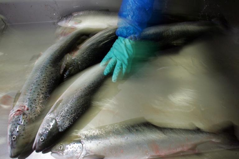 The Chilean salmon industry is the second largest in the world