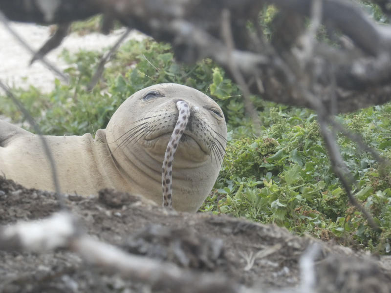 Hawaiian Monk Seal Gets Eel Stuck Up Its Nose