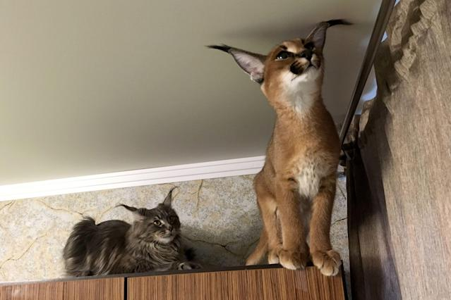 PHOTOS: This couple owns a caracal cat