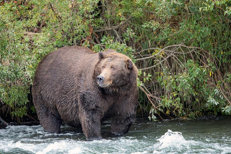 In studying grizzly bears, researchers at Washington State University found that the bears' fatty tissues changed the most during hibernation while the muscle tissue hardly changed at all. (U.S. National Park Service via The New York Times)