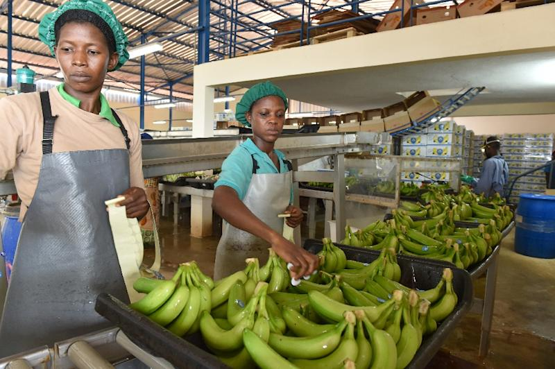 People work in a treatment and packaging bananas centre near Dabou, around 45kms from Abidjan, on July 7, 2016 (AFP Photo/Issouf Sanogo )