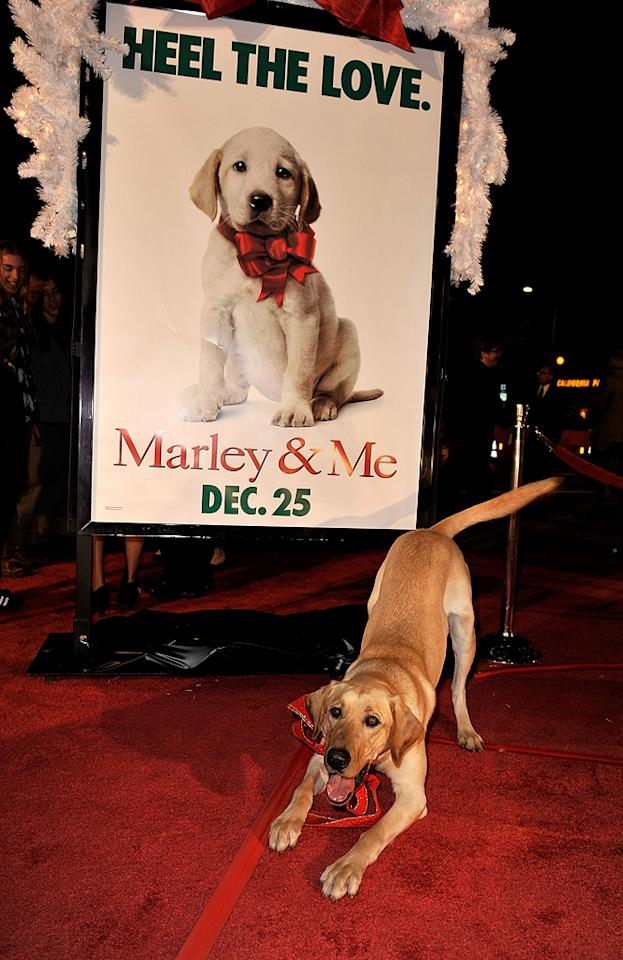 "Clyde the dog at the Los Angeles premiere of <a href=""http://movies.yahoo.com/movie/1809995057/info"">Marley & Me</a> - 12/11/2008"